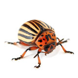 Colorado beetle. On the isolated background Royalty Free Stock Photos