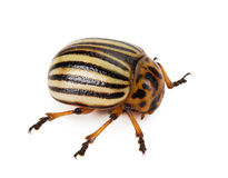 Colorado beetle isolated on the white background Royalty Free Stock Images
