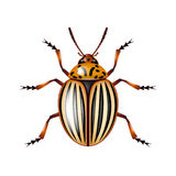 Colorado beetle isolated on white vector Royalty Free Stock Images