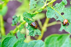 Colorado beetle and larva on potato leaves Stock Image