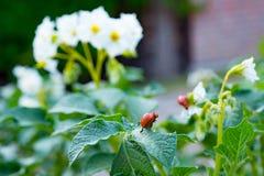 Colorado beetle larvae eating organically grown potatoes. Isolat. The Colorado beetle larvae eating organically grown potatoes.  focus Royalty Free Stock Images