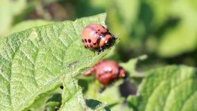 Colorado beetle larvae stock video footage