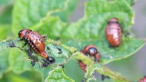 Colorado beetle larvae stock video