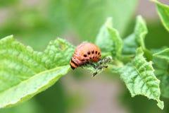 Colorado beetle larvae Stock Photos