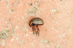 Colorado beetle Stock Images