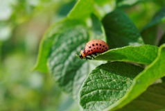 Colorado beetle on a leaf. Stock Image