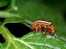 Colorado beetle macro, eating potato leaf. Leptinotarsa decemlin Royalty Free Stock Photography
