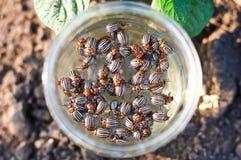 Colorado beetle. Colorado potato beetle collected from the bush potato in a jar royalty free stock photos