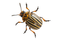 Colorado beetle Royalty Free Stock Photo