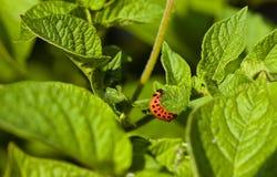Colorado  beetle Royalty Free Stock Image