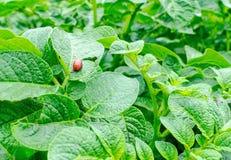 Colorado beetle Stock Photo