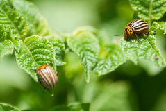 Colorado beetle. On potato leaf stock photography