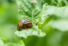 Colorado beetle. On potato leaf royalty free stock images