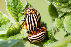 Colorado beetle. On potato leaf stock images