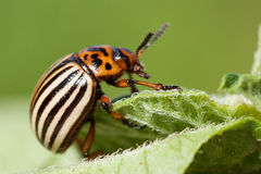 Colorado beetle. On potato leaf royalty free stock photography