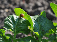 Colorado beetle on potato leaf Stock Image