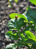 Colorado beetle on potato leaf Stock Photo