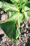Colorado beetle on potato leaf Stock Images