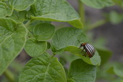 Colorado beetle. On potato leaf, striped insect in black and cream Royalty Free Stock Photos