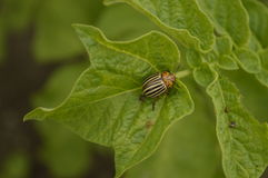 Colorado beetle. On potato leaf, striped insect in black and cream Royalty Free Stock Photo