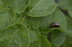 Colorado beetle. On potato leaf, striped insect in black and cream royalty free stock images