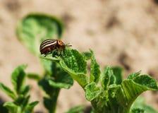 Colorado beetle on potato leaves Royalty Free Stock Photo