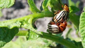 Colorado beetle stock footage