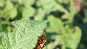 Colorado beetle stock video footage