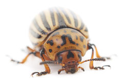Colorado Beetle Royalty Free Stock Images