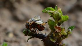 Colorado beetle with rain drops on spring potato  bud Stock Image