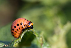 The  colorado beetles larva Royalty Free Stock Photography
