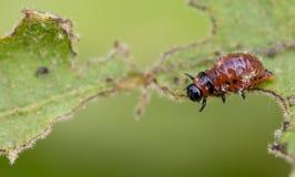 Colorado beetle`s larva feeding on the potato leaf. Close up stock photo