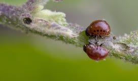 Colorado beetle`s larva feeding on the potato leaf. Close up royalty free stock image