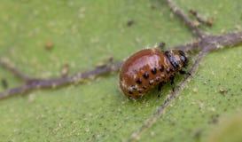 Colorado beetle`s larva feeding on the potato leaf. Close up stock photos