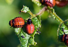 The  colorado beetles larvae Stock Photos