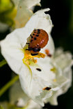 The  colorado beetles larvae on potato flower Stock Images