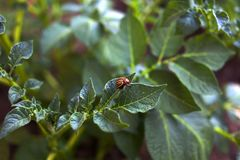 Colorado beetle on a sheet of potato bush in the garden. A dangerous pest for agriculture. Colorado beetle on a sheet of potato bush in the garden. A dangerous royalty free stock photos