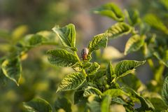 Colorado beetle on a sheet of potato bush in the garden. A dangerous pest for agriculture. Macro. stock images