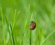 Colorado beetle on top of grass blade Royalty Free Stock Photos