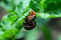 Colorado beetle Royalty Free Stock Photography