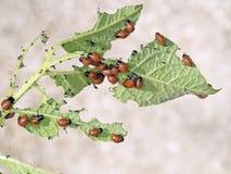 Colorado beetle young feeding on potato plant. Leptinotarsa dece Royalty Free Stock Photos