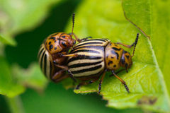 Colorado beetles Stock Images