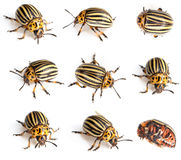 Colorado beetles Stock Photography