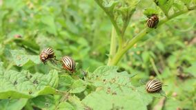 Colorado beetles gobble up the leaves of potatoes stock video footage