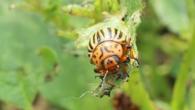 Colorado beetles gobble up the leaves of potatoes stock footage