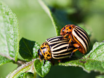 The colorado beetles mating on potato leaf Stock Photography