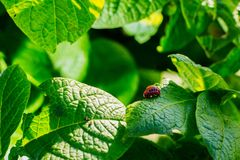 Colorado beetles in nature on a foliage of potatoes. Potato leaves with a Colorado beetle on them stock images