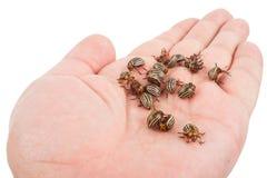 Colorado beetles on palms Stock Image