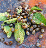 Colorado beetles Stock Photo