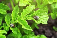Colorado beetles ten-striped spearman or potato bug eats a potato leaves. Cultivation of vegetables. Close-up.  royalty free stock image